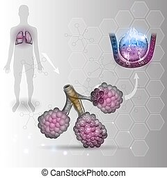 Alveoli anatomy, respiration - Alveoli anatomy, oxygen and...