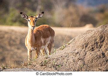 Impala starring at the camera. - Impala starring at the...