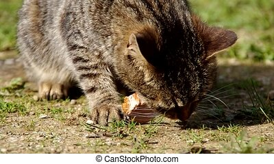 Cat eats meat - Cat eats the meat on the ground