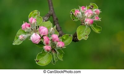 Flowering apple tree in spring on green background