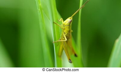 Grasshopper on the green grass in summer