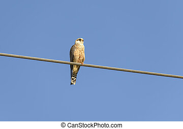 kestrel - young kestrel leaning over a current wire