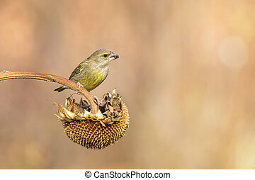 greenfinch - male greenfinch eating on a sunflower outdoor