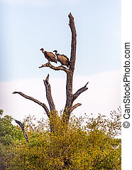 Two Vulture Birds in South Africa - Two white-backed...