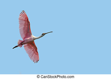 Beautiful tropical Spoonbill against blue sky - Bright sky...