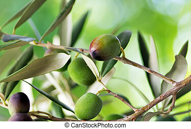 Olive branch with green background