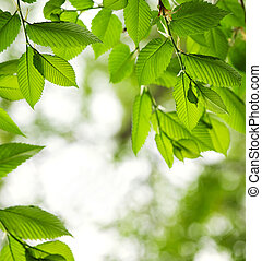 Green spring leaves - Green spring elm leaves with copy...