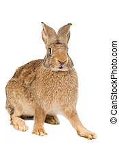 brown rabbit isolated - brown sitting rabbit bunny with long...