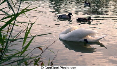 Swan bites a cane. - Swan preening its wings. Swan wags its...