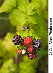 Blackberry and raspberry hybrid - Ripe and ripening berries...