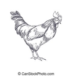 Rooster. Cock Illustration in Vintage hand drawn style....