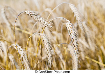 Ears of rye (wheat) cereals