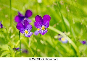 Viola Tricolor - Johnny Jump Up - Wild flowers in detail on...