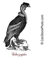 Andean condor, wildlife vintage engraving