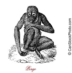 Animal portrait, orangutan vintage engraving - Animal great...