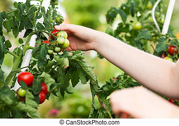 Woman harvesting tomatoes in garden