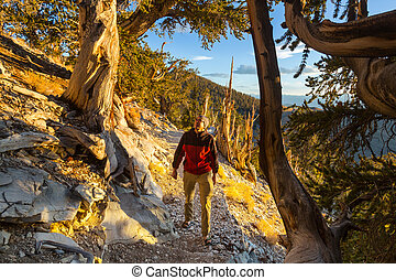 Ancient Bristlecone Pine Tree showing the twisted and...