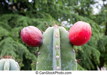 Prickly Pear Cactus - Close up of Prickly Pear Cactus Fruit...