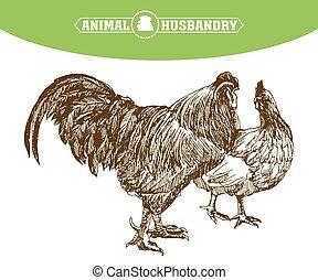 chicken breeding. animal husbandry. livestock