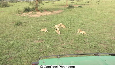 Safari truck fightens away some lions - Wide angle view of...