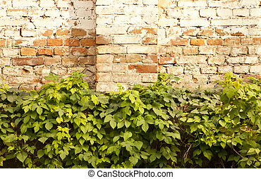 vines old brick wall with a textured surface as a background