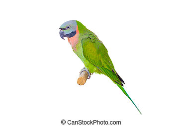 green parrot isolated on white background with clipping path