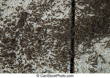 Ant Colony - A macro view of a large number of ants on a...