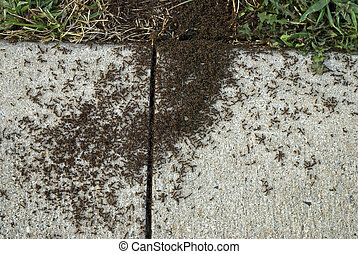 Sidewalk Ants - A macro view of a large number of ants on a...