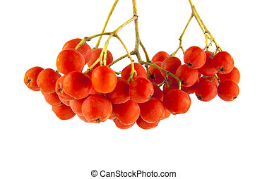 rowan berry isolated on white background