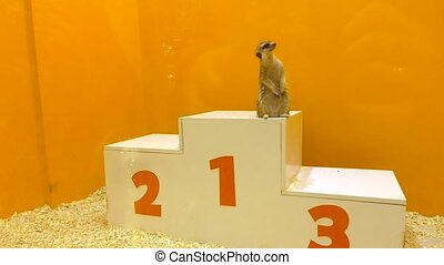 Funny meercat standing at first place on victory podium....