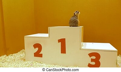 Two meercats on a victory podium. Awarding, victory and...