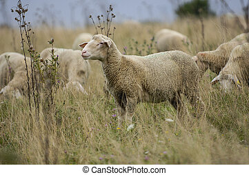 Sheep in nature on meadow. Farming outdoor. - Sheep in...