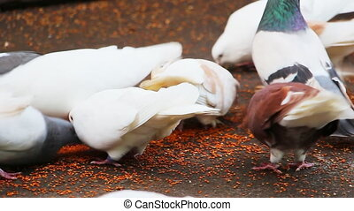 Pigeons peck grains on the pavement 2
