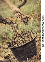 Noble, molde, uva, botrytis, uvas, Sauternes, putrefacción,...