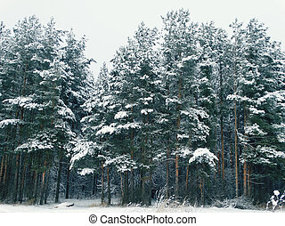 Winter forest in snow