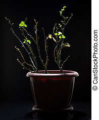 stem roses with panicle bunch in flower pot, black...
