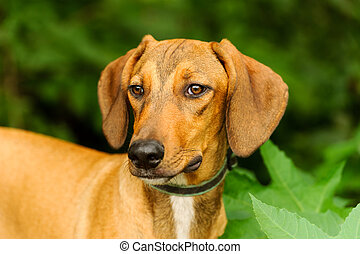 Dog Face in Nature - Dog face is a beutiful hound dog...