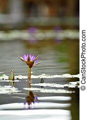 Purple lotus flowers - Lotus flowers in a park in Hue