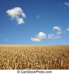 Wheat Field - A Golden Wheat Field Landscape with blue Sky