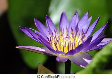 Purple lotus flower - Lotus flower in a park in Hue
