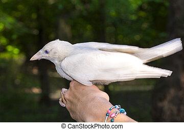 Rare as a white jackdaw - White Eurasian jackdaw Corvus...