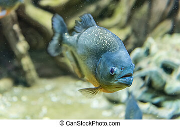 submarinas, peixe, piranha, tropicais, meio ambiente,...