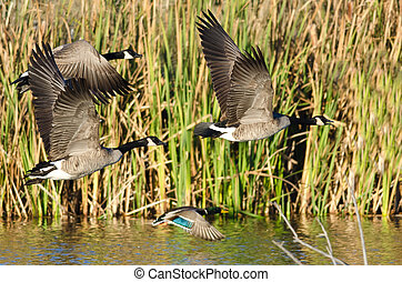 Three Canada Geese and Mallard Duck Flying Low Over the...
