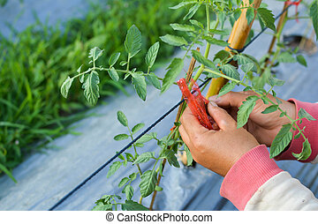 Asian farmer tomato tied with rope on the garden