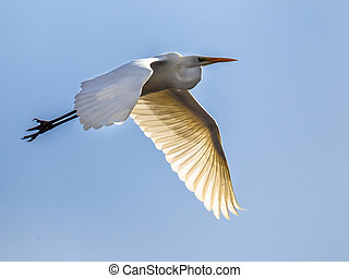 Flying Great egret - Great egret (Ardea alba), also known as...