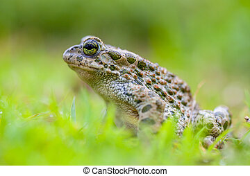 Green toad in Grass - Daring Green toad (Bufotes viridis)...