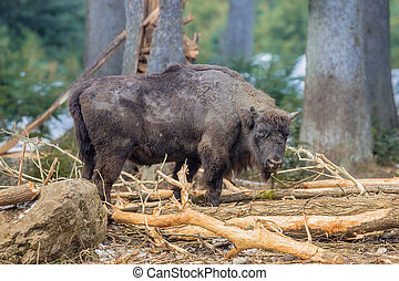 Wisent foraging in the forest - The European bison (Bison...