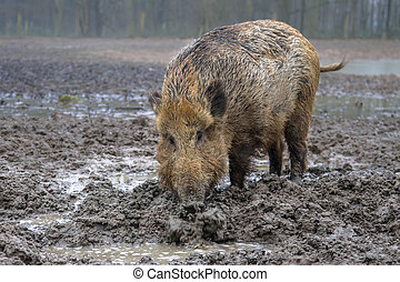 Feeding Wild Boar (Sus scrofa) in a mud pool with stagnant...