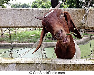 Brown goat in goat farm - Brown goat with bunch of grass in...