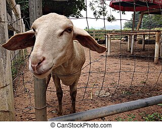 Brown goat in goat farm, brown goat behind the bar